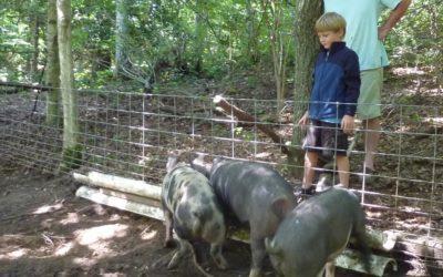 Pigs, on a see-food diet